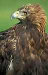 Golden Eagle, Aquila chryysaetos, captive, portrait, face....