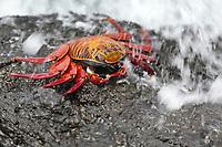 Marine Iguana, Punto Espanosa, Fernandina Island, Galapagos Islands, Ecuador
