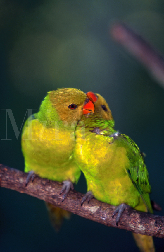 Perfect Lorikeets, pair, billing, photographed in captivity
