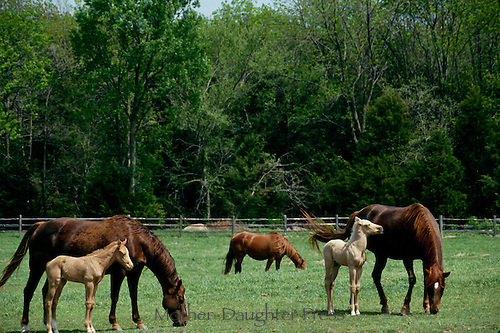 Quarter horse foal and colts stand near their mothers in a green paddock
