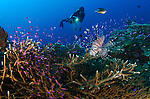 A diver looks on at a lionfish (Pterois volitans) hovering above staghorn coral, Gorontalo, Sulawesi