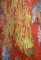 Arbutus menziesii Pacific Madrone tree trunk bark with mottled red and yellow details