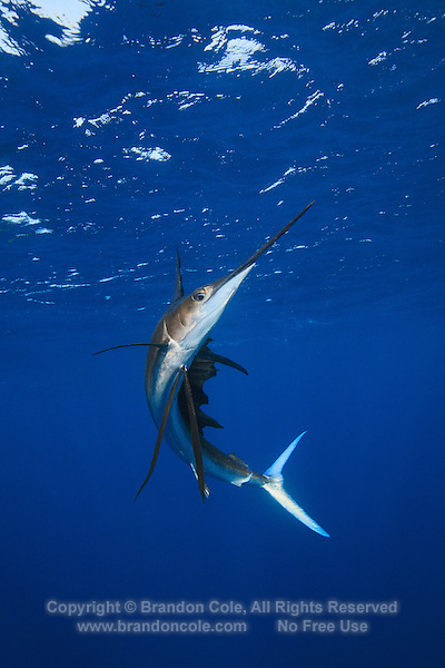 qh1084-D. Atlantic Sailfish (Istiophorus albicans). Some consider this the same species as the Indo-Pacific Sailfish (I. platypterus). Mexico, Gulf of Mexico..Photo Copyright © Brandon Cole. All rights reserved worldwide.  www.brandoncole.com..This photo is NOT free. It is NOT in the public domain. This photo is a Copyrighted Work, registered with the US Copyright Office. .Rights to reproduction of photograph granted only upon payment in full of agreed upon licensing fee. Any use of this photo prior to such payment is an infringement of copyright and punishable by fines up to  $150,000 USD...Brandon Cole.MARINE PHOTOGRAPHY.http://www.brandoncole.com.email: brandoncole@msn.com.4917 N. Boeing Rd..Spokane Valley, WA  99206  USA.tel: 509-535-3489