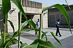 07/11/2011 - Medford/Somerville, Mass. Students leaving Tisch Library walk past the four-and-a-half foot tall sorghum and corn plants in the New Entry Sustainable garden on Monday, July 11, 2011.   (Alonso Nichols/Tufts University).