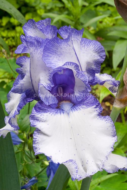 Bearded iris Orinoco Flow in bicolored white and blue with blue beard, picotee edge flower
