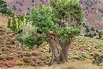 Goats climb argan trees to eat the fruit, whose seed oil is used in cosmetics and supplements, Arganeraie Biosphere Reserve, Morocco