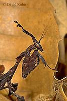 "0314-07oo  Ghost Mantis - Phyllocrania paradoxa ""Male Nymph"" - © David Kuhn/Dwight Kuhn Photography"