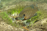 Bluegill (male guarding nest)<br />