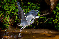 Grey Heron bird, Ardea cinerea, taking flight from the River Thames in Berkshire, UK