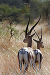 Africa, Kenya, Meru. Grant's Gazelles.