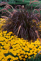 Pennisetum Rubrum purple foliage leaved plant perennial ornamental grass with orange gold marigolds