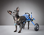 Pets with Disabilities Project