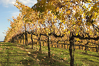 Grape vines in fall color in green field.