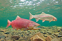 Chinook Salmon (with rainbow trout in background)<br />