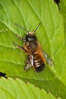 Rote Mauerbiene, Mauer-Biene, Männchen, Osmia rufa, Osmia bicornis, red mason bee