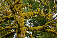A tree along the trail at Purisima Redwoods Open Space displays a coat, or a cake's frosting, of moss.