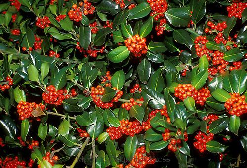 Holly berries, Ilex, in abundance