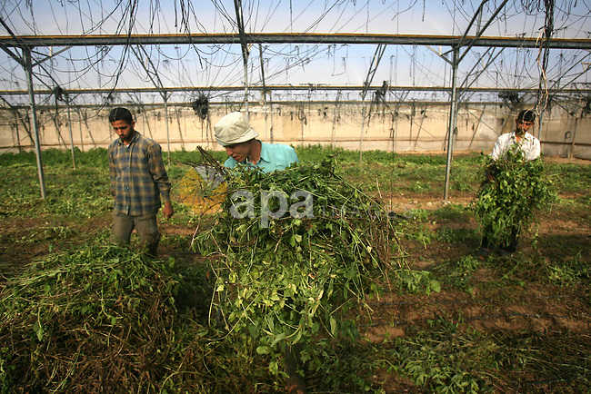 Palestinian farmers harvest Green spices ready to be exported, on a farm in Khan Younis, in the southern Gaza Strip April 15, 2013. Photo by Eyad Al Baba