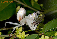 "0610-07rr  Malaysian Orchid Mantis Consuming Prey - Hymenopus coronatus ""Nymph"" - © David Kuhn/Dwight Kuhn Photography"