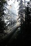 Morning fog and coast redwoods at Big Basin Redwoods State Park
