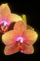 Orchid Phalaenopsis Brother Gold