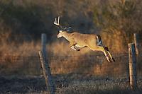 White-tailed Deer (Odocoileus virginianus), buck jumping fence, Sinton, Corpus Christi, Coastal Bend, Texas, USA