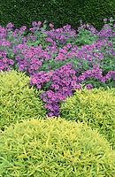 Purple & Yellow garden: Geranium x magnificum & Caryopteris x clandonensis