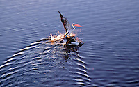 The Images from the Book Journey through Color and Time,landing pelican in the wetlands of Kakadu national Park, Australia