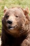 Sequim Game Farm, Olympic Game Farm Kodiak bear
