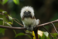 Cottontop or Pinche Tamarin (Saguinus oedipus), adult, Northern Colombia