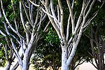 Leaves and Branches, Costa Mesa, CA.