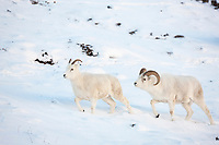 Dall sheep ram follows ewe in the winter snow during the rut in Atigun canyon, Brooks range mountains.