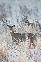 Whitetail doe in snow with a buck during the rut
