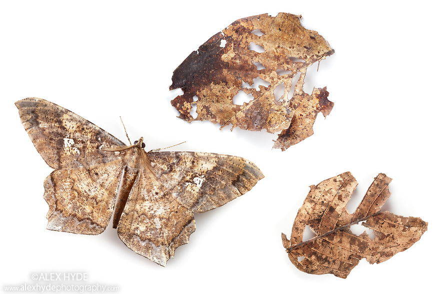 Leaf-mimicking moth {Amblychia sp.}, camouflaged as dead leaf, photographed on a white background in mobile field studio in tropical rainforest. Maliau Basin, Sabah, Borneo, Malaysia.