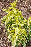 Phlox paniculata 'Mary Jane' variegated foliage