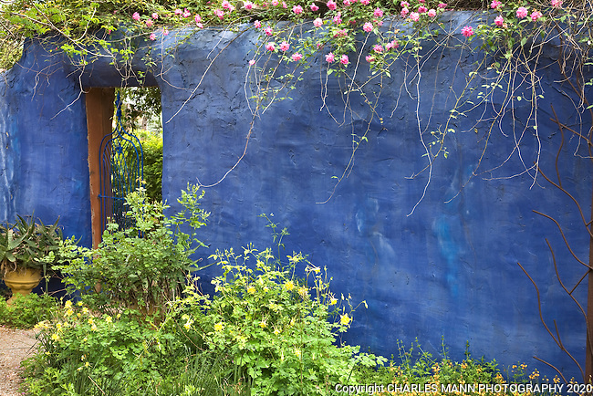 A pink rose cascades over the blue wall of Mike Shoup's demonstration garden at his Antique Rose Emportium nursery in San Antonio, Texas.