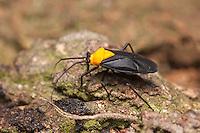 A Plant Bug (Prepops insitivus) forages on a tree.