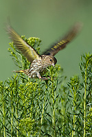 578590011v a wild pine siskin carduelis pinus forages on wild bushes in bryce canyon national park utah united states