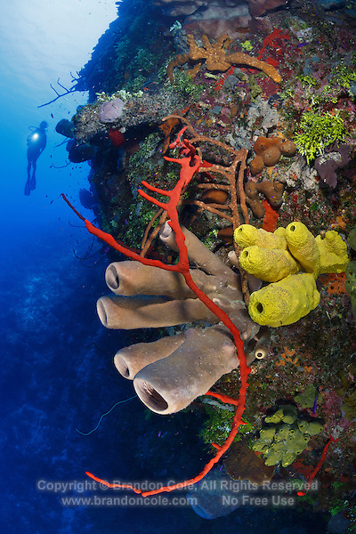 TR2039-D. Scuba diver (model released) swimming along wall decorated in colorful sponges. Many species shown here, including red Erect Rope Sponge (Amphimedon compressa), yellow Branching Tube Sponge (Aiolochroia crassa), and tan Tubulate Sponge (Agelas tubulata). Cayman Islands, Caribbean Sea.<br /> Photo Copyright &copy; Brandon Cole. All rights reserved worldwide.  www.brandoncole.com