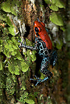 Red Back Poison Frog, or Reticulated Poison Frog, Dendrobates reticulatus, on mossy tree trunk jungle, Iquitos, Northern Peru, South America, black spotted blue legs, small. .Peru....
