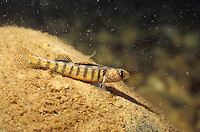 Iowa Darter<br />