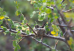 hummingbird in nest in Baja CA Sur, Isla San Jose