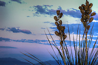 Yucca Moon - New Mexico - White Sands National Monument - Moon set