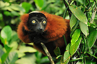 Red Ruffed Lemur (Varecia rubra), Masoala National Park, Madagascar