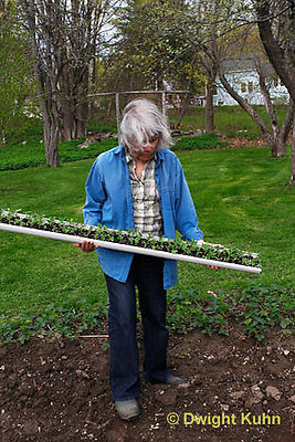 HS69-555z  Peas, sliding peas off a gutter, peas were started in gutters for better germination, Sugar Snap peas, photo release available