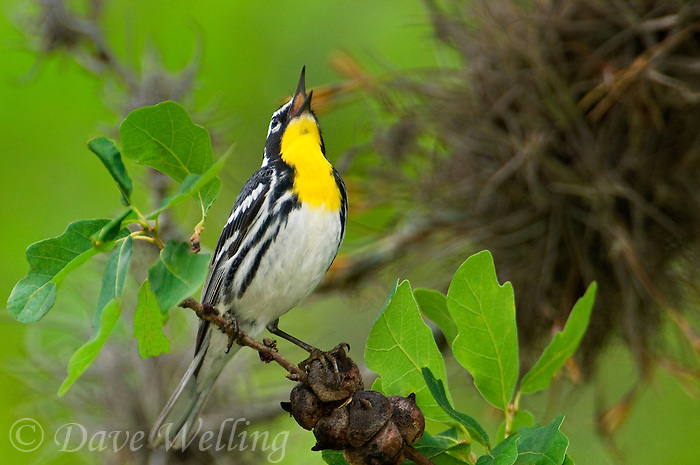 592480021 a wild male yellow-throated warbler setophaga dominica albilora - was dendroica albilora - sings from a perch in a small tree in the hill country of central texas united states