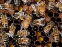 honeybees with pollen ball on comb full of pollen cells.