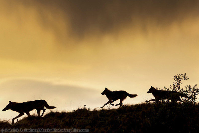 DIGITAL COMPOSITE: Panoramic blend of three frames. Silhouette of a gray wolf running across a mountain ridge in Denali National Park, Alaska.