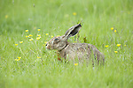 Brown Hare, Lepus europaeus, Elmley Marsh, Kent UK, hiding in long grass