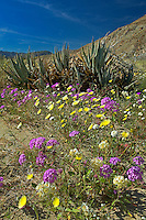 712000118 spring wildflowers including desert sand verbena abronia villosa desert dandelion malacothrix glabrata and brown-eyed primrose camissonia claviformis blanket the seemingly arid plains of the low desert of anza borrego desert state park in southern california